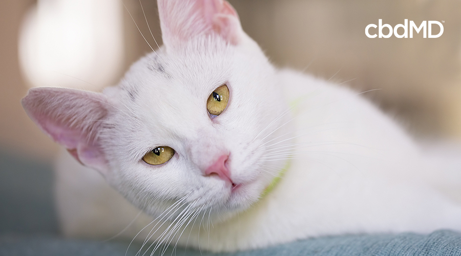 An older white cat lays on its side and looks directly into the camera