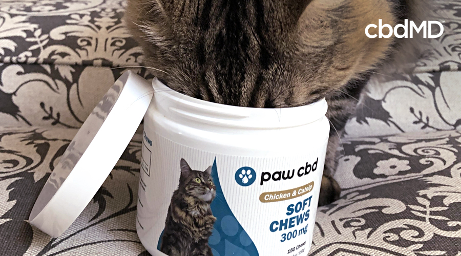 A grey and white tabby cat puts his head into bottle of 300 mg soft chews from cbdmd