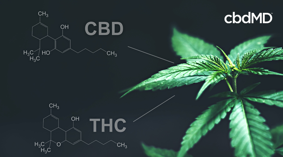 The chemical composition of thc and cbd stands beside a mature cannabis plant