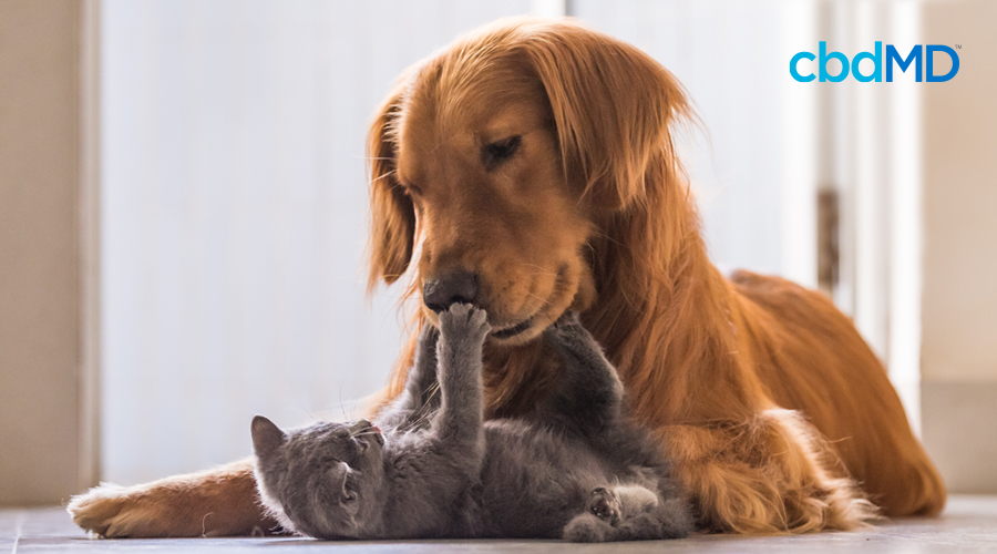 A Golden Retriever lays on the floor and plays with a grey kitten