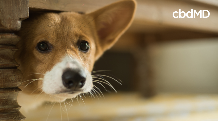 A scared looking Corgi pokes his head out from under a table