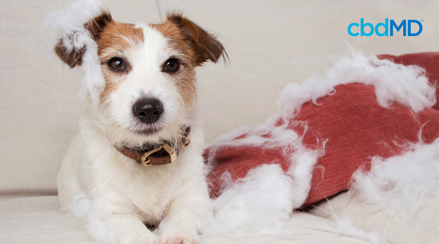 A jack russell terrier sits next to a read pillow it has chewed up and destroyed