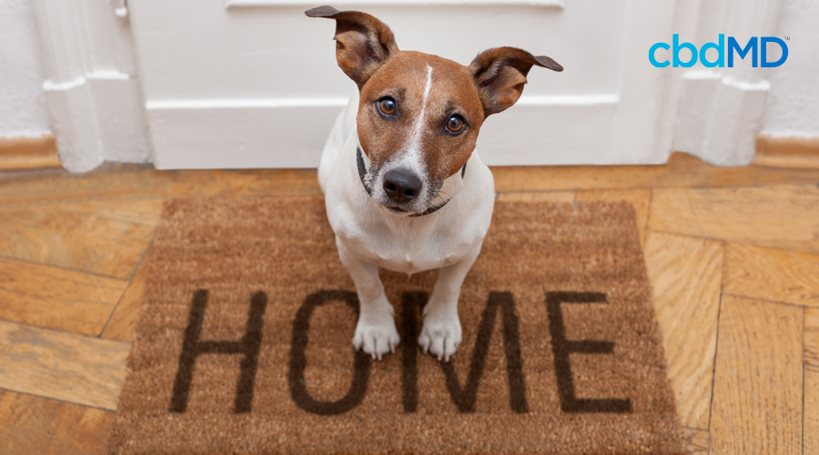 A small brown and white dog sits on a welcome home mat looking up expectantly