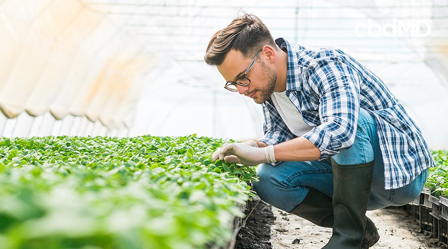 An organic farmer in a blue plaid shirt and tall rubber boots checks the growth progress of young hemp plants