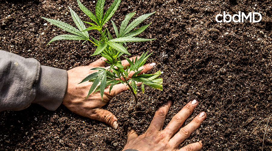 A pair of hands pats down the soil around a growing hemp plant