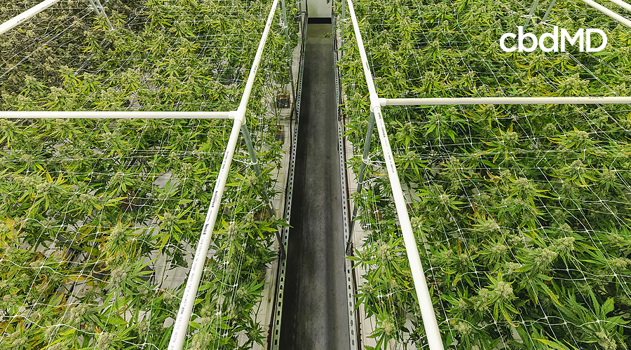Two large areas of healthy hemp plants are separated by a wide row