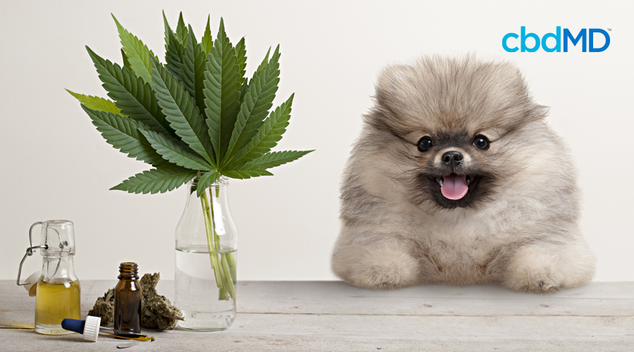 A fluffy brown and grey pomeranian sits on a table next to a vase full of hemp leaves