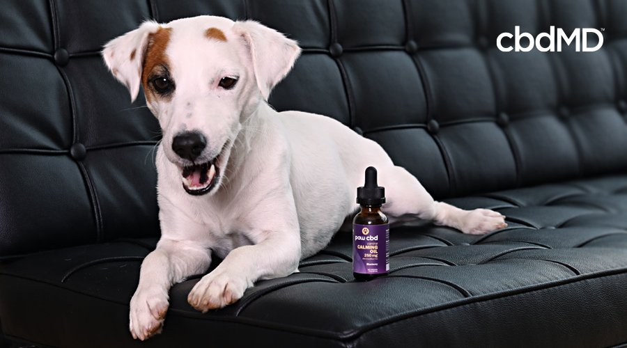 A jack russell terrier sits on a black leather couch next to calming cbd tincture from paw cbd