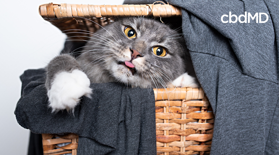 A grey tabby cat pokes his head out of a laundry basket