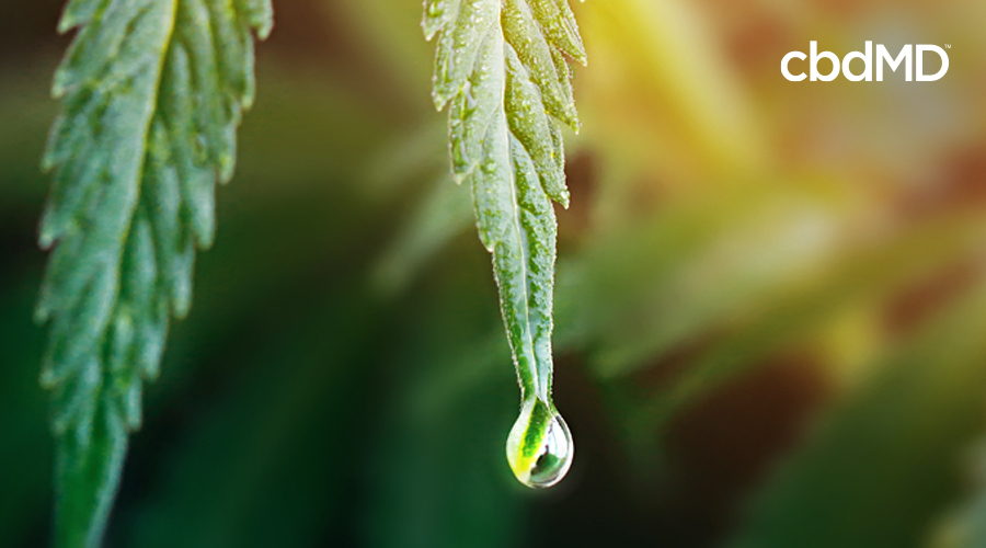 A cannabis plant with moisture dripping from it
