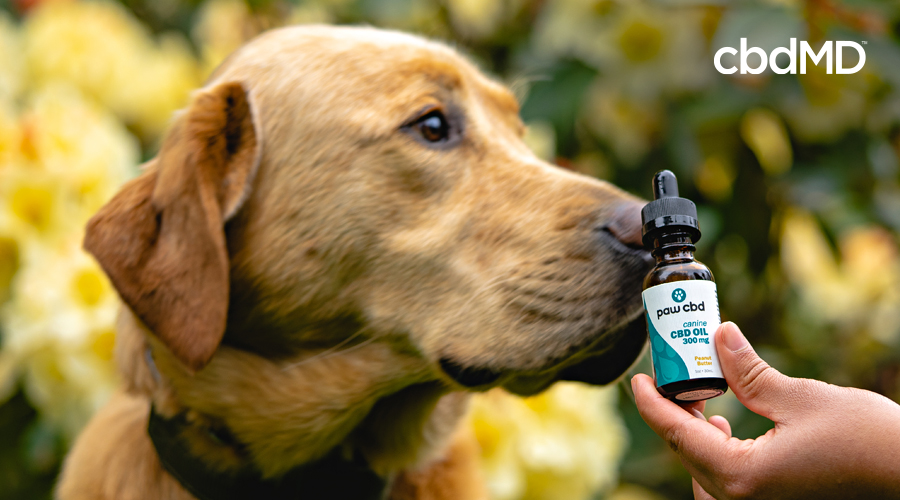 An old yellow lab sniffs a bottle of cbd tincture for dogs from cbdmd