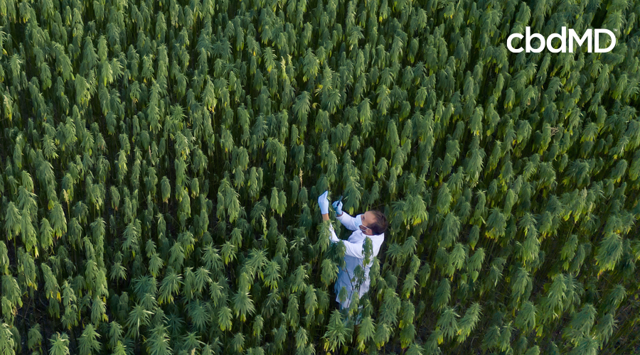 A scientist stands in a field of hemp and tests some of the plants in a lab coat and gloves
