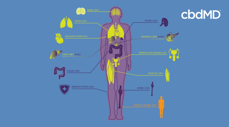 A diagram of the human body demonstrates the different systems that work with cbd