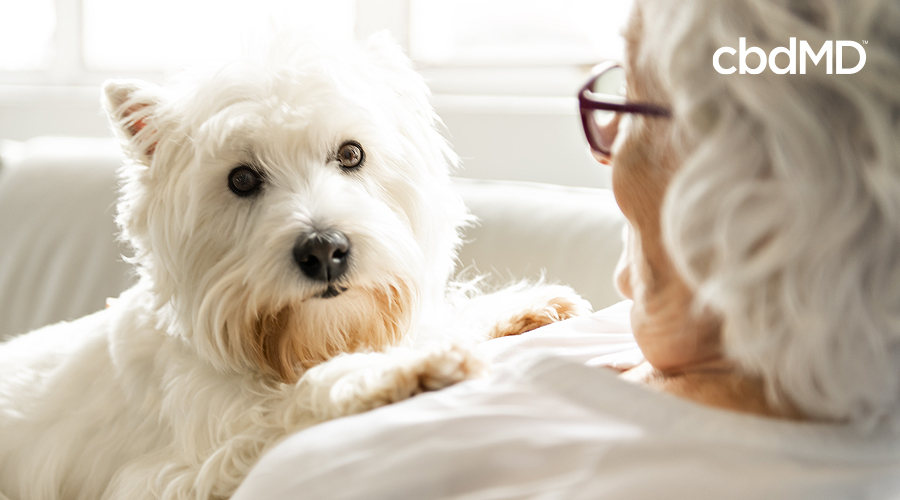 A white yorkshire terrier sits on her owners lap on the couch