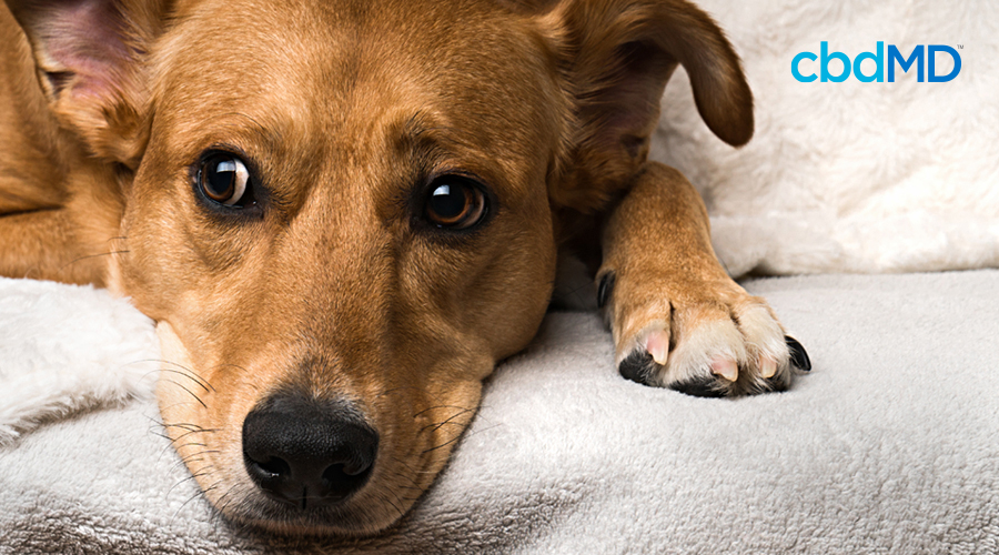A brown mutt with wide eyes lays on a grey couch