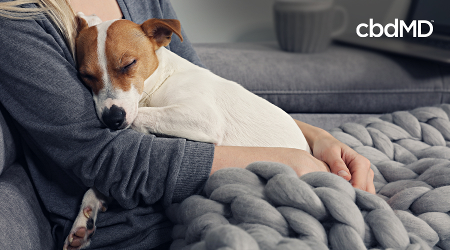 A jack russell terrier lays on his owners lap as they sit together beneath a thick knit blanket