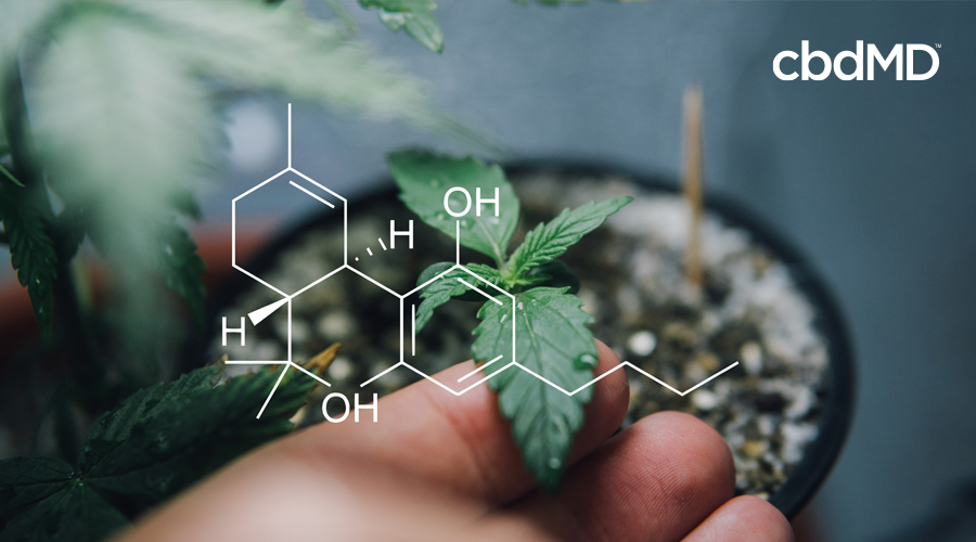 The chemical make up of CBD is shown in white over a hand holding a seedling gently
