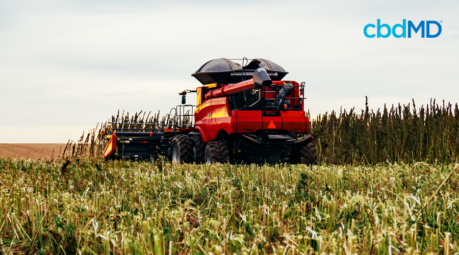 A red combine rolls through a large field harvesting crops