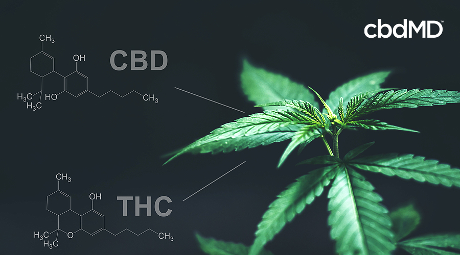 A hemp leaf on a black background with the chemical make ups of thc and cbd next to it