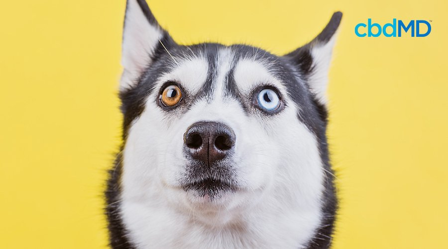 A husky with one blue eye and one brown eye looks up against a yellow background