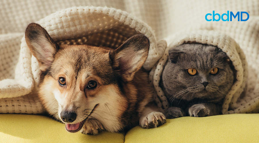 A corgi and a grey cat snuggle together beneath a knitted blanket