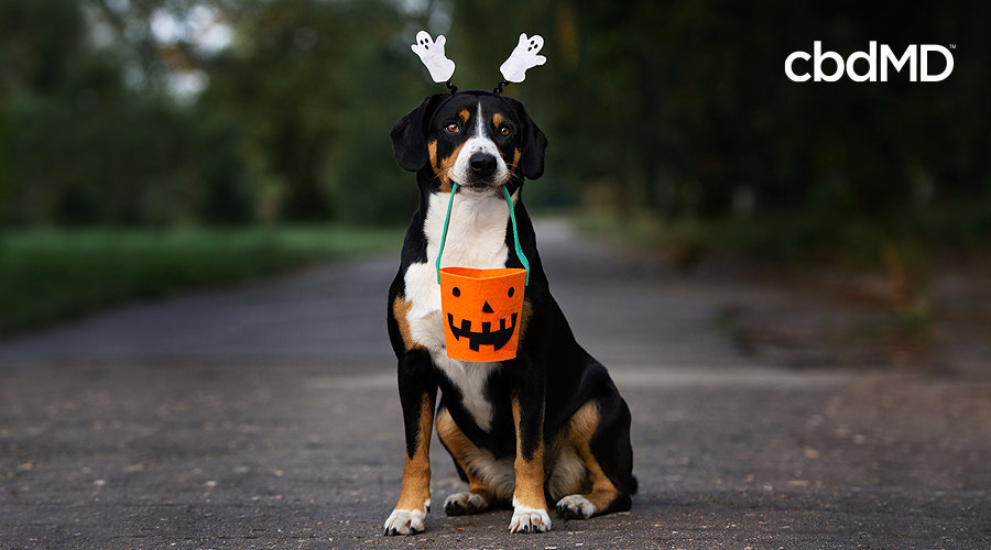 A brown and white dog with ghost ears holds a trick or treat bucket as he sits on a driveway