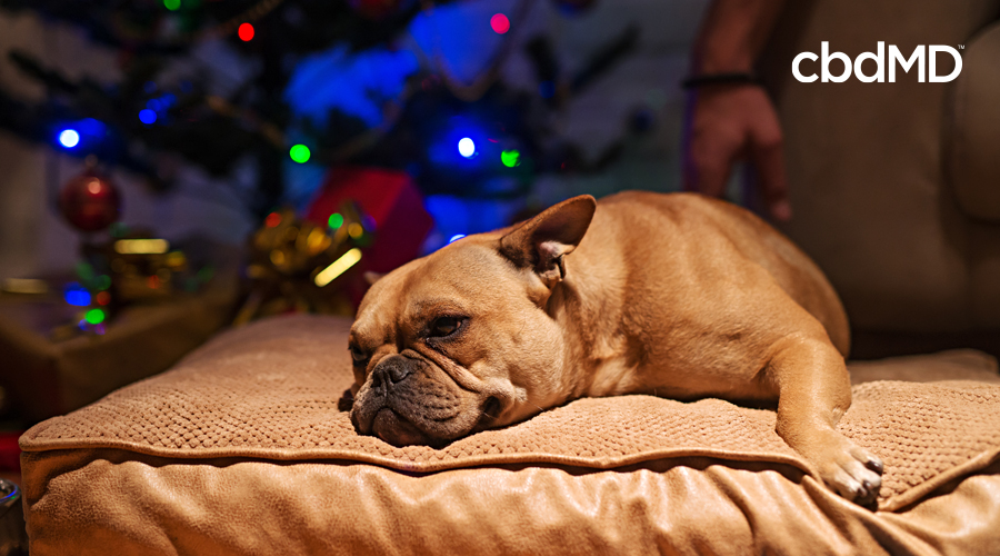 A french bulldog sleeps on a brown doggie bed near a christmas tree