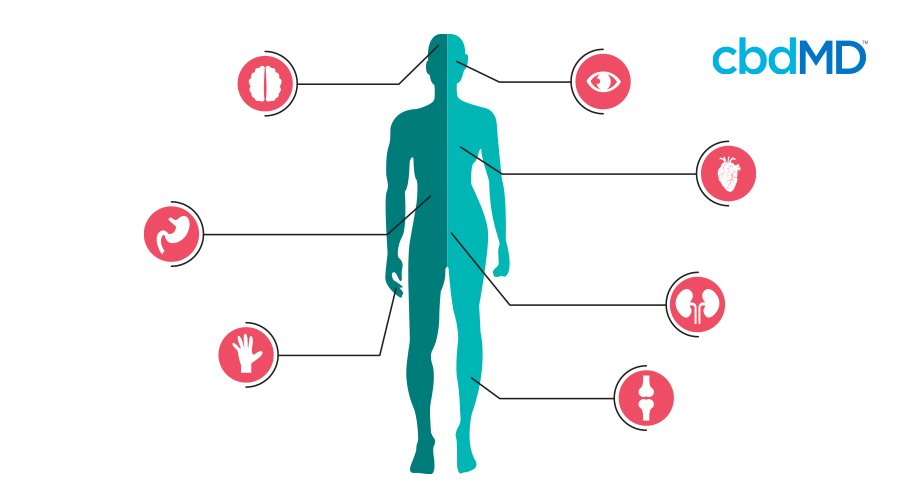 A diagram of the body showing the position of different bodily functions tied to the endocannabinoid system
