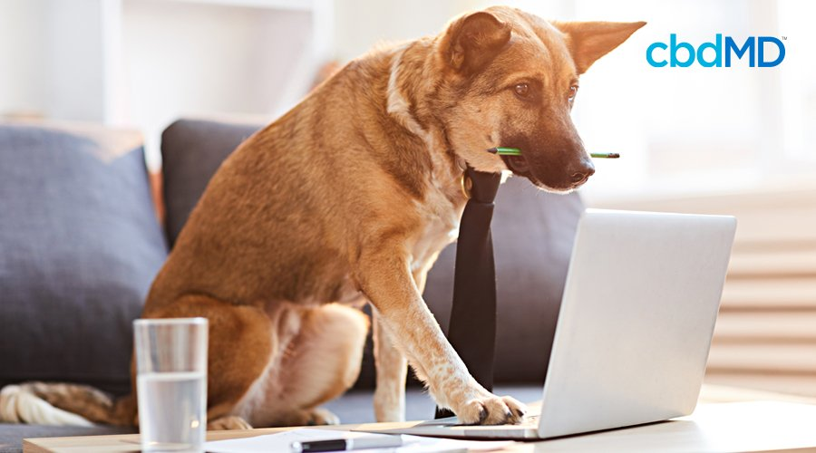 A german shepard sits on a couch and works on a computer