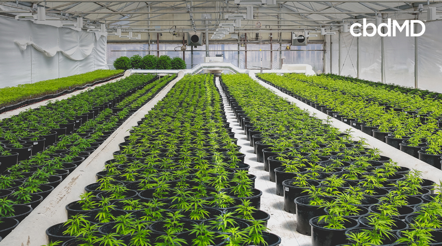 Rows of potted hemp plants sit in an indoor greenhouse surrounded by piping and fans