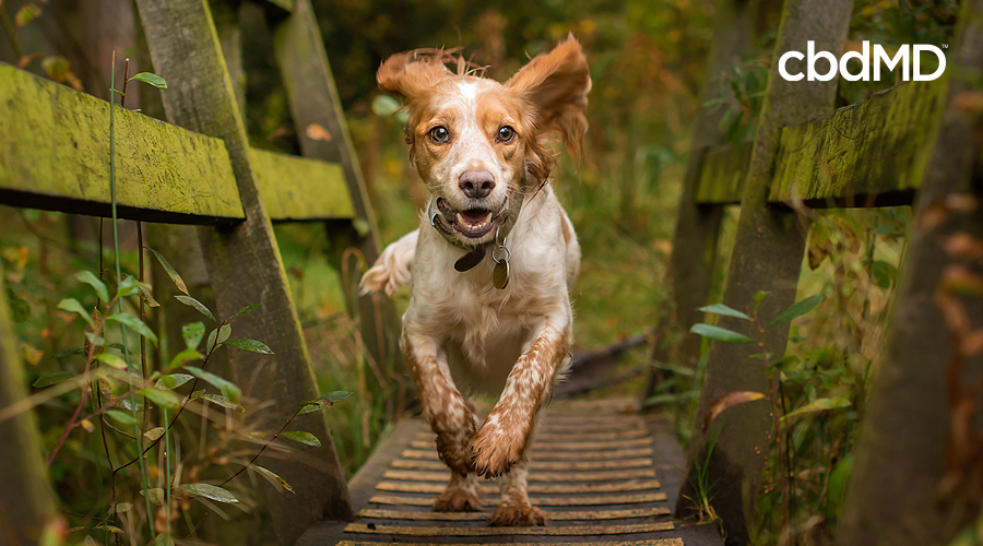 A pretty brown and white spaniel runs across a wooden bridge in the woods