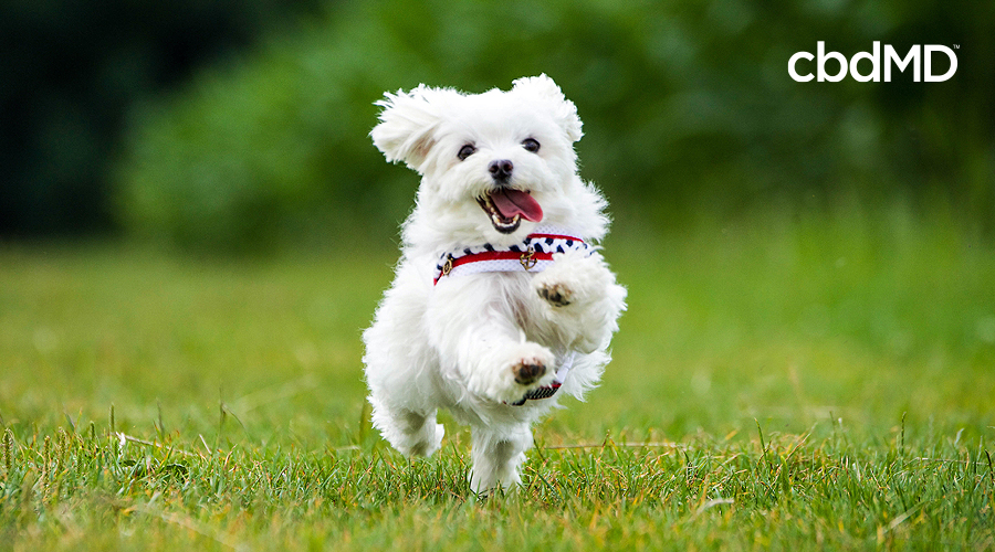A fluffy white dog with a red, white, and blue collar runs across the grass at a park