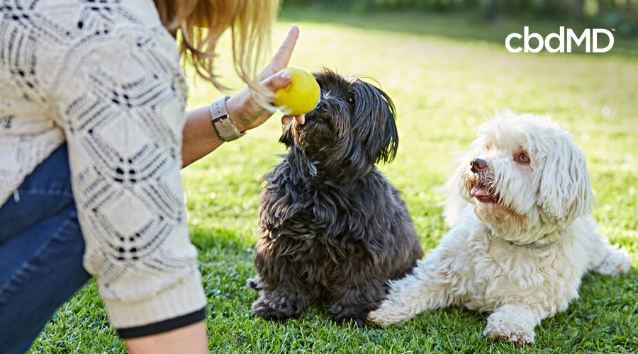 A black dog and a white dog sit in a park as their owner holds a ball infront of them