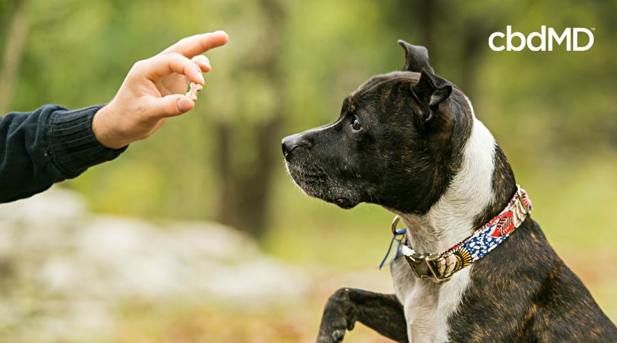 A brown and white pitbull sits up straight as his owner raises a cbd treat