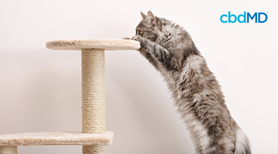 A grey cat gets ready to jump onto a cat tower