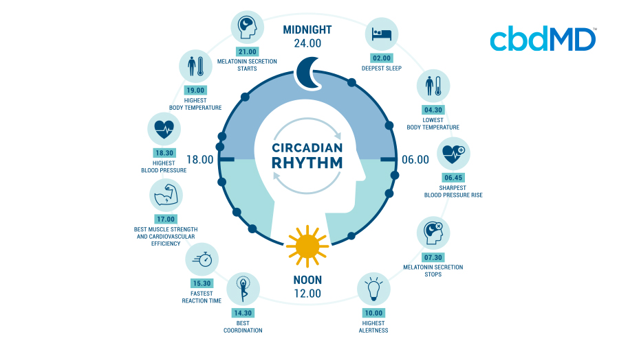 A detailed diagram walks you through the steps of the circadian rhythm hour by hour