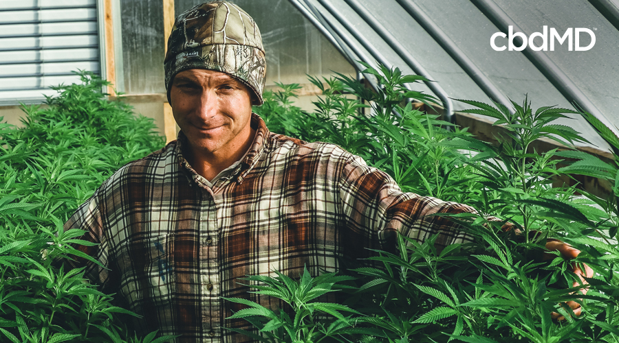 A man in a flanel shirt and camouflage beanie stands among mature hemp plants in a greenhouse