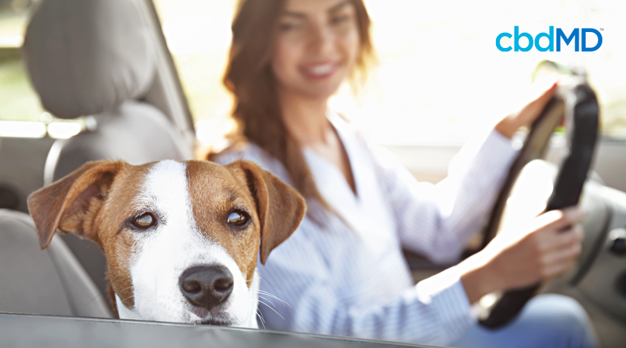 A dog looks out the window of a car as a woman drives him home