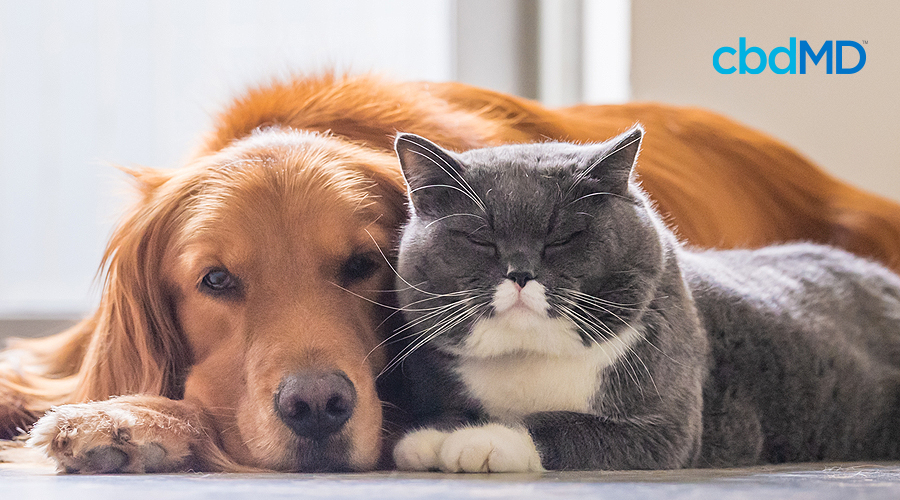 A golden retriever and a grey and white cat sit next to each other on the floor
