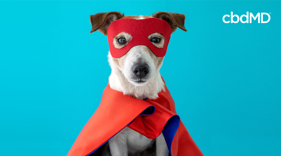 A jack russell terrier sits in an orange super hero costume against a blue background