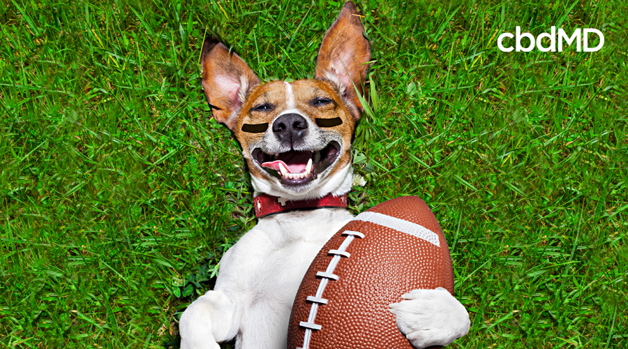 A jack russell terrier with eye black under his eyes rolls on the football field with a ball