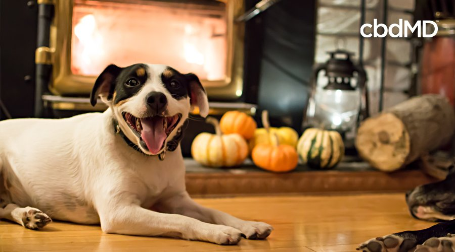A white and black and brown dog sits by a fire with his tongue hanging out