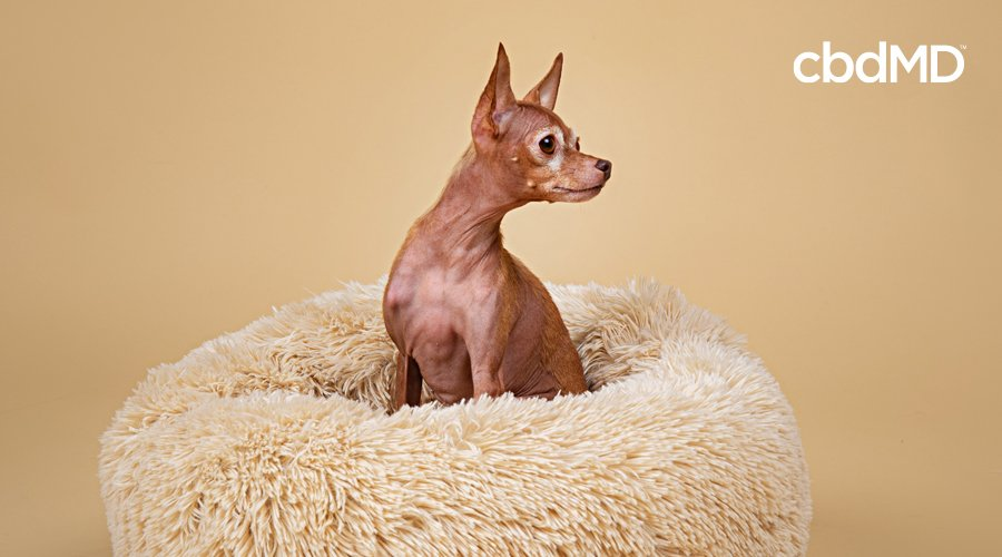A small brown chihuahua sits on a fluffy dog bed