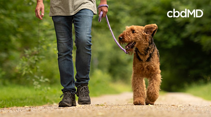 A curly haired brown dog walks beside his owner in the park