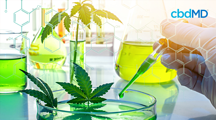 A lab sits laid out with cannabis for research next to filled beakers while gloved hand holds a dropper