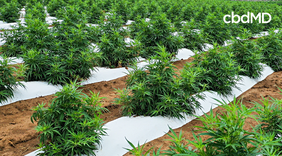 Row upon row of cannabis plants sit growing in a large field