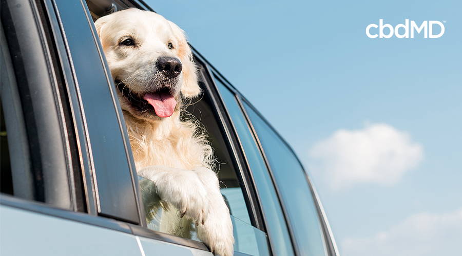 A large white dog hangs out the window of an suv headed down the road