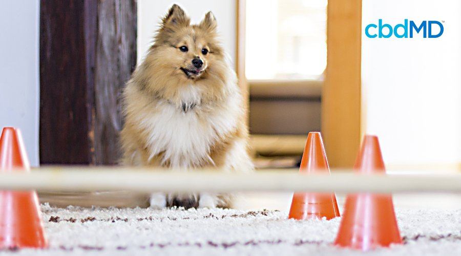 A small fluffy brown dog sits at the start of a homemade obstacle course