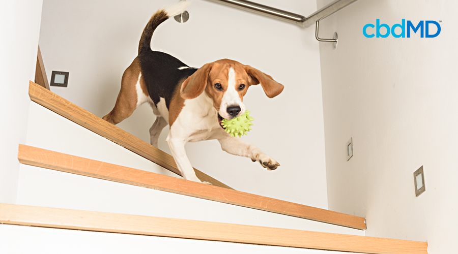 A beagle runs down a set of stairs with a lime green toy in his mouth