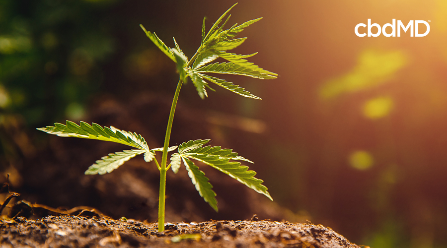 A young hemp sapling sits up in the sunlight